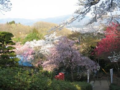 音楽寺の桜1.jpg