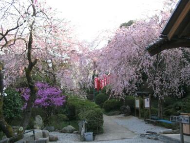 音楽寺の桜2.jpg