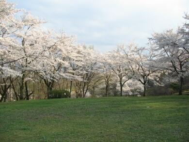 音楽寺の桜3.jpg