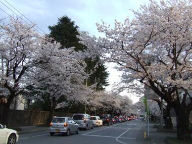 宇都宮大学工学部脇の桜並木2.jpg