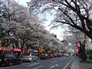 宇都宮大学工学部脇の桜並木1.jpg