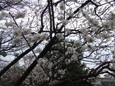 羽根木公園の梅.jpg
