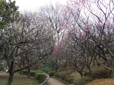 羽根木公園の梅3.jpg