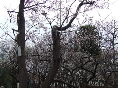 羽根木公園の梅4.jpg