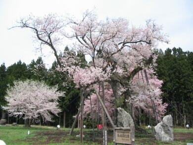 釜の越桜2.jpg