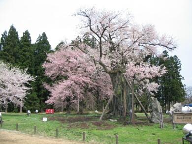 釜の越桜3.jpg