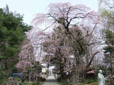 関川寺の結城桜2.jpg