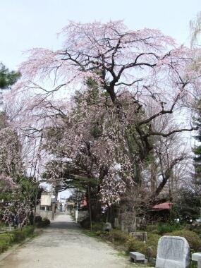 関川寺の結城桜1.jpg