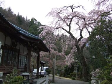 鏡圓坊の桜2.jpg