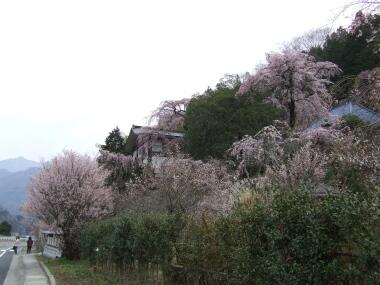 鏡圓坊の桜1.jpg
