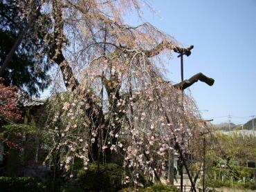 金剛寺しだれ桜2.jpg