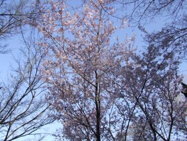 紀三井寺桜2.jpg