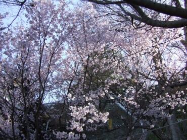 紀三井寺桜1.jpg