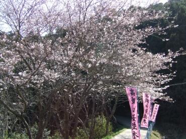 高畑山の桜並木.jpg