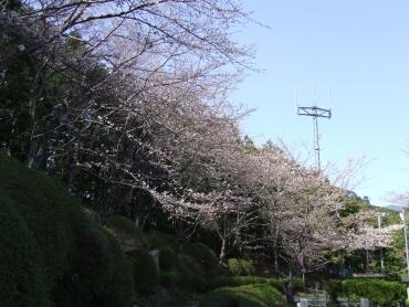 高畑山の桜並木2.jpg
