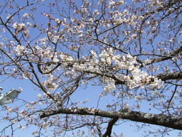 高畠山の桜並木1.jpg