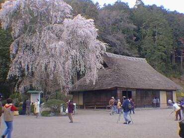 高麗神ミ桜2.jpg