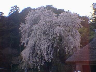 高麗神ミ桜3.jpg