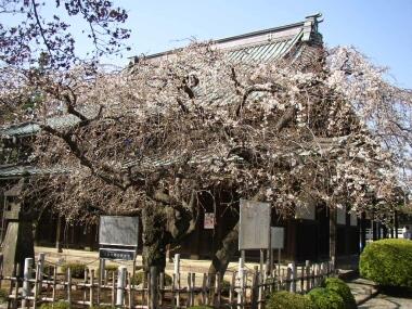 豪徳寺桜.jpg