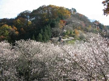 桜山公園_冬桜.jpg
