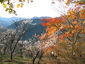 桜山公園_冬桜3.jpg