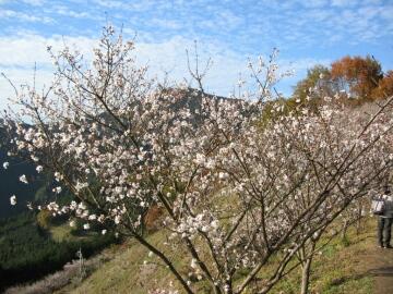 桜山公園_冬桜5.jpg