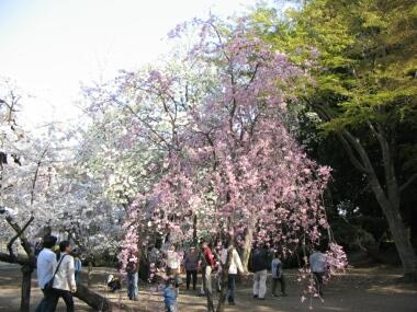 慈眼寺桜2.jpg