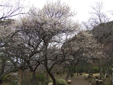 三渓園の梅2.jpg