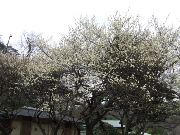 三渓園の梅3.jpg