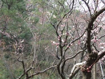 三渓園の梅1.jpg