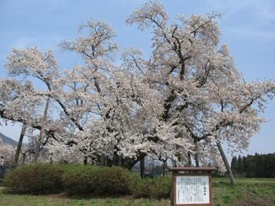 山口奨学桜2.jpg
