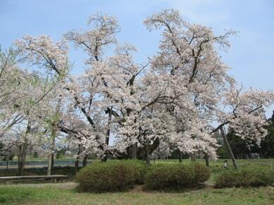 山口奨学桜3.jpg