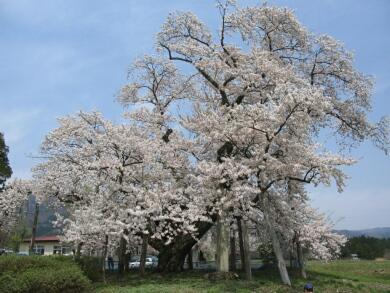 山口奨学桜1.jpg