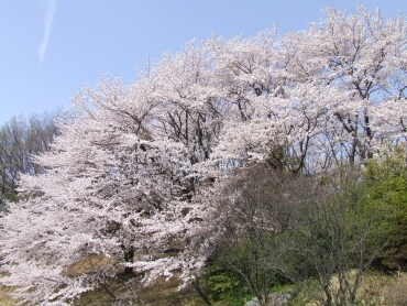 山前公園の桜2.jpg