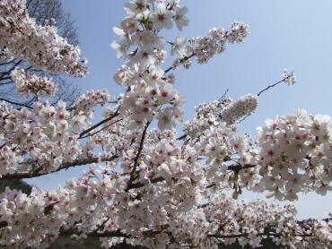 山前公園の桜4.jpg