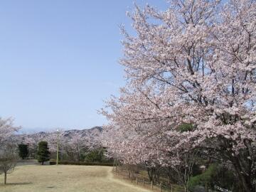 山前公園の桜1.jpg