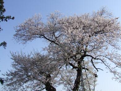 子守堂の桜2.jpg
