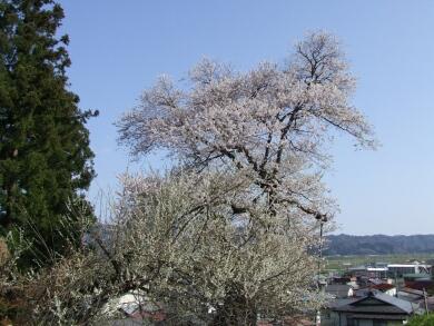 子守堂の桜3.jpg