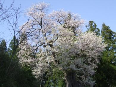 子守堂の桜1.jpg