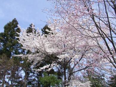 小川城址の桜2.jpg