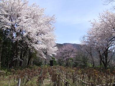 小川城址の桜3.jpg