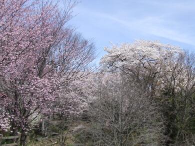 小川城址の桜1.jpg