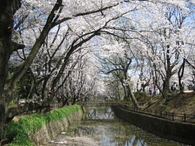 小泉城の桜2.jpg