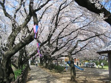 小泉城の桜3.jpg