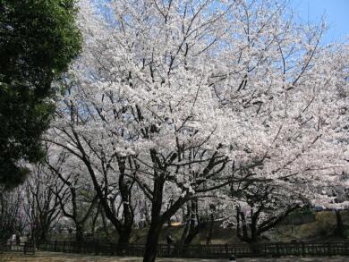小泉城の桜1.jpg