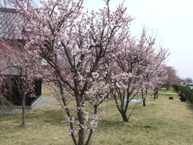 小峰城の桜1.jpg