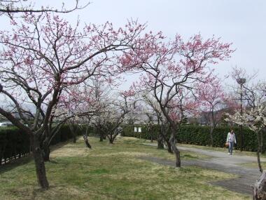 小峰城の梅3.jpg
