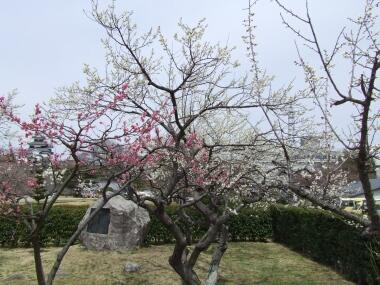 小峰城の梅1.jpg
