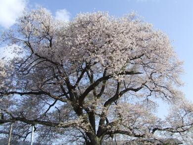 称名寺阿弥陀堂の桜2.jpg