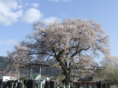 称名寺阿弥陀堂の桜1.jpg
